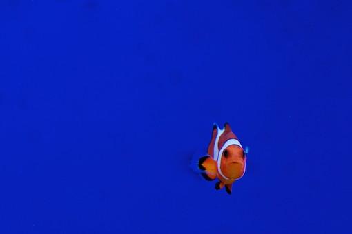 You can see clownfish when snorkelling the waters of Espiritu Santo, Vanuatu